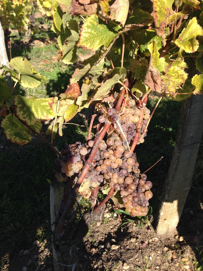 Noble Rot on a Semillon grape